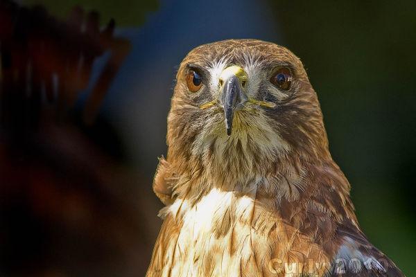 Hawk, Medieaval Fayre, Jarrow
