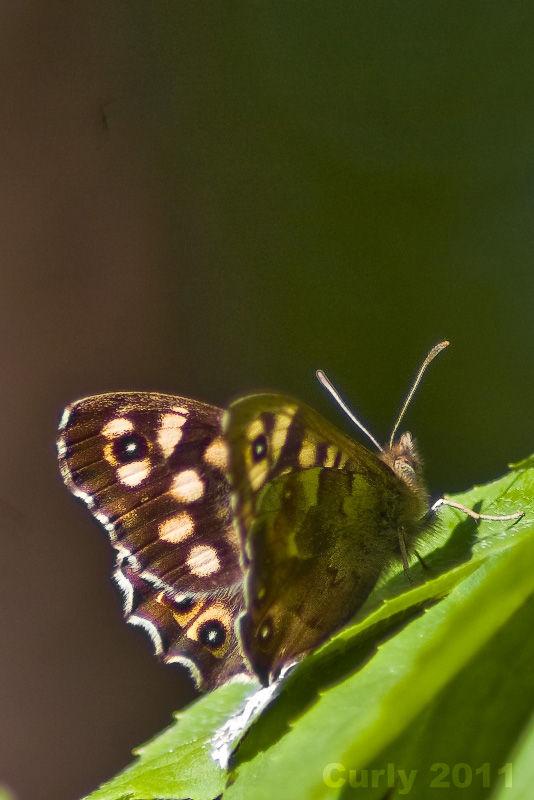 Butterfly Cleadon Park, South Shields