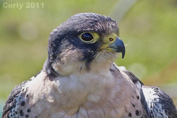 Peregrine Falcon Medieval Fayre Jarrow