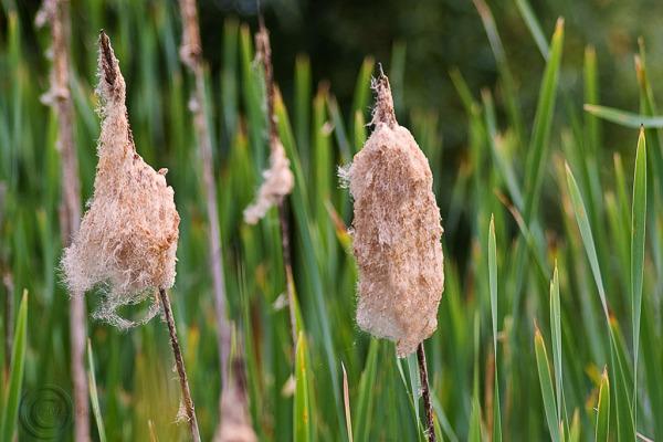Grases, Rainton Meadows