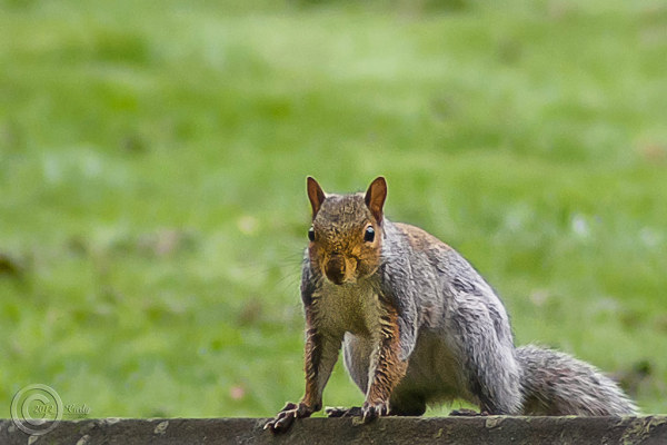 Squirrel, South Shields