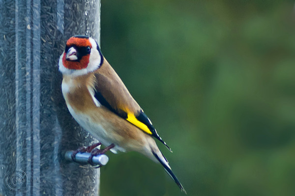 Goldfinch, South Shields