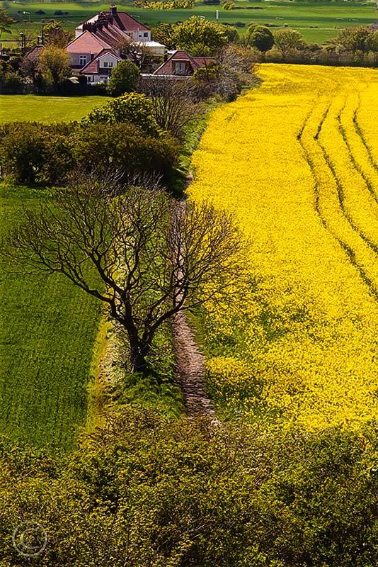 Fields of rapeseed, Cleadon Hills, South Shields