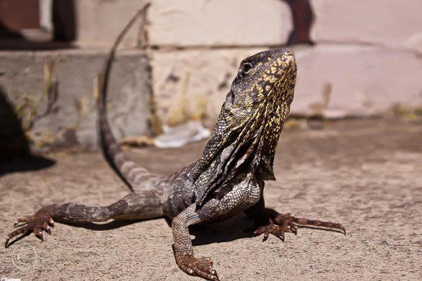Australian frilled dragon, South Shields