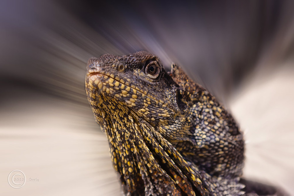Australian frilled dragon, South Shields