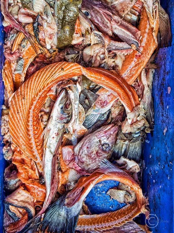 Scrap fish at North Shields fish quay