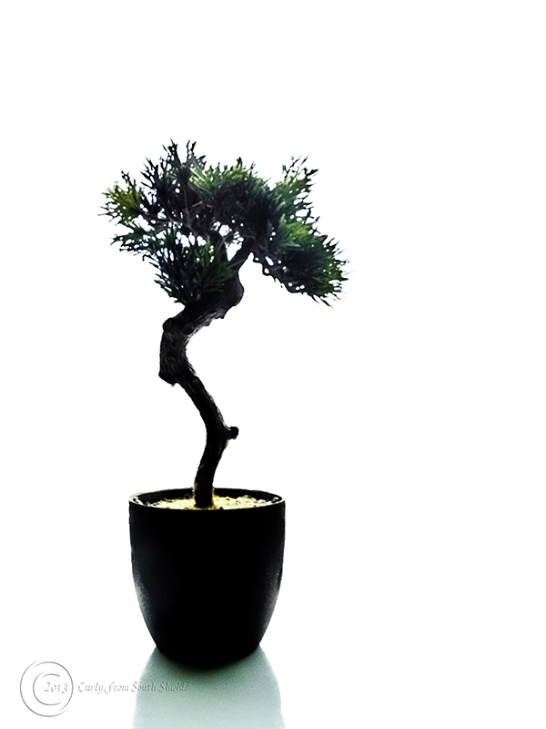 Bonsai plant, South Shields