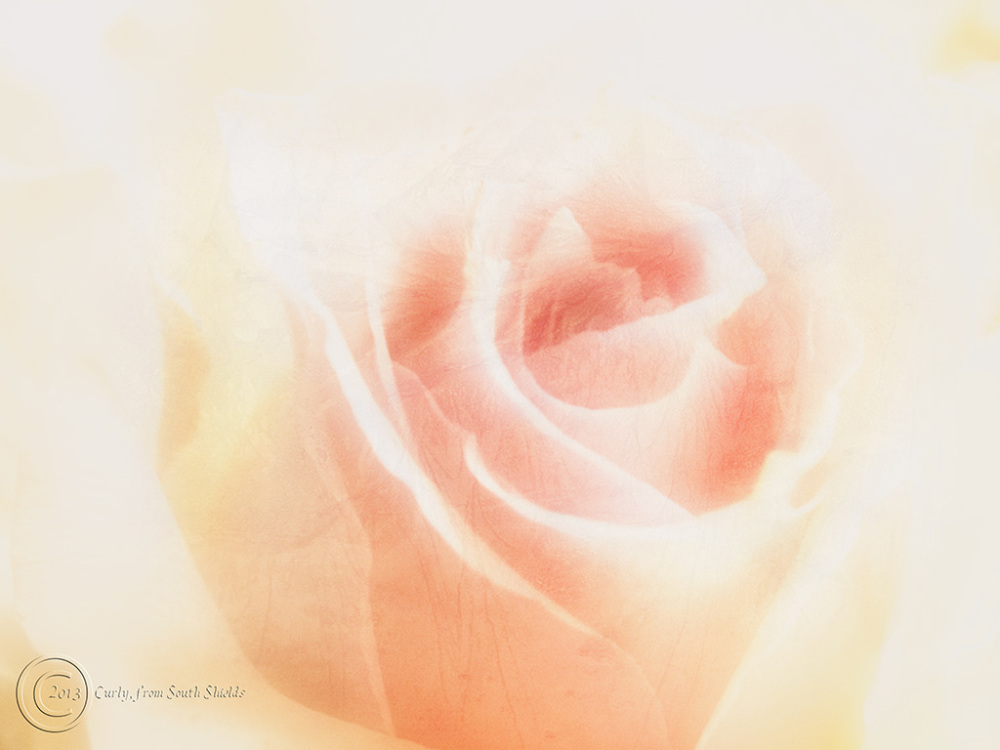 A rose photographed in South Shields