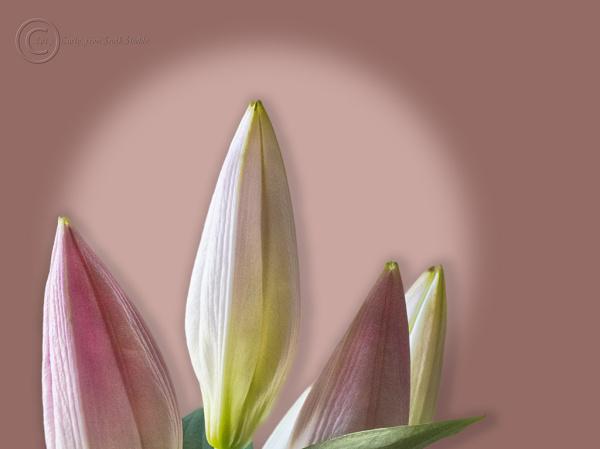 Three lilies, south shields,