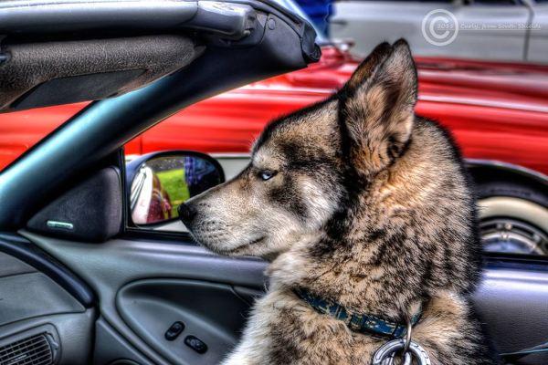 Husky dog at American Car Show, South Shields