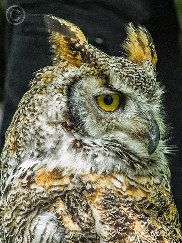 Long eared owl, York, UK