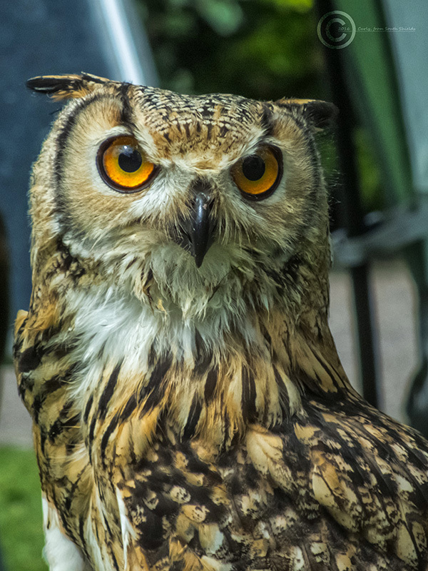 Owl, Museum Gardens, York