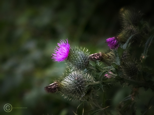 Thistle, Washington Wetlands Trust UK