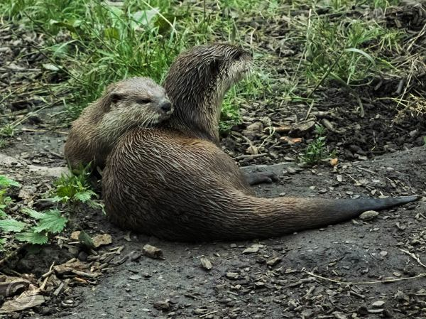 Otters at Washington Wetlands Trust