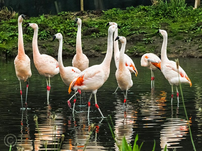 Chilean flamingoes at Washington Wetlands Trust