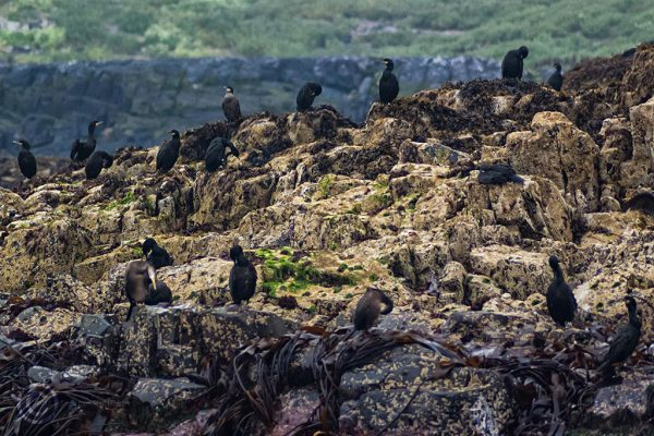 Cormorants on the Farne Islands, Northumberland