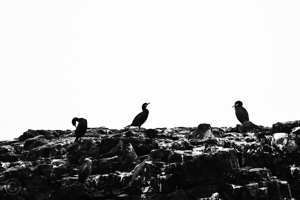 Cormorants on the Farne Islands