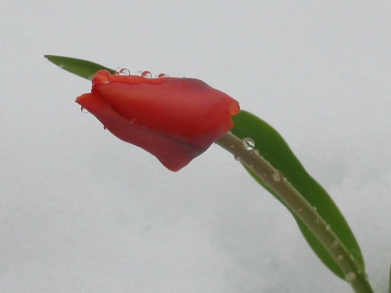 tulip snow