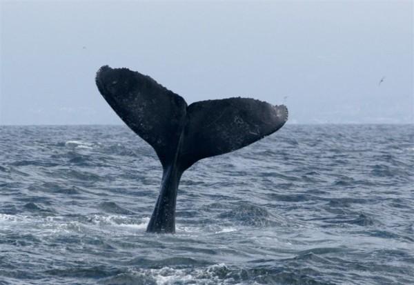 Humpack Whale Monterey Bay