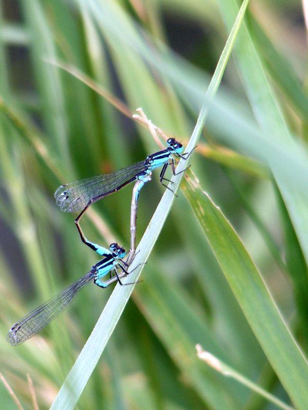 libellules #2