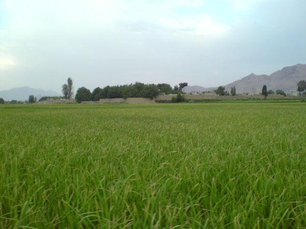 raice farm