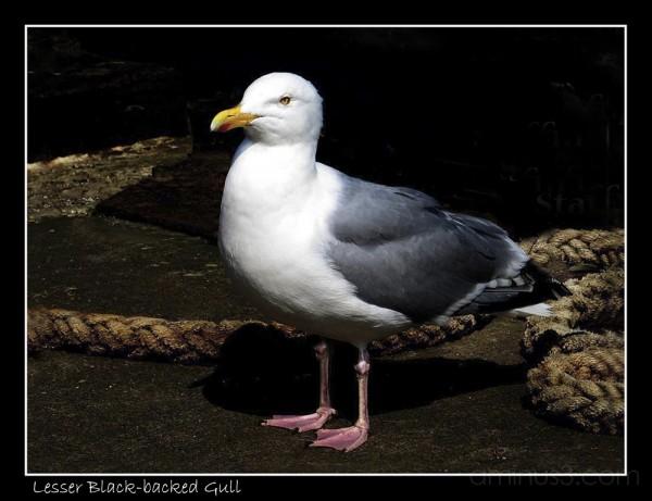 Lesser Black - backed Gull