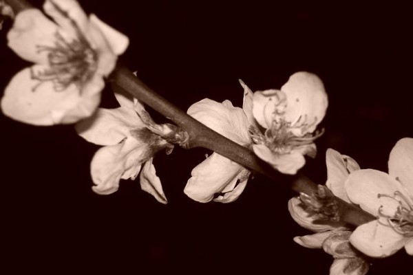 Photo of a blossom in sepia
