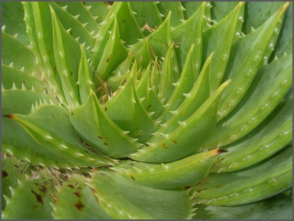 Spikey Plant