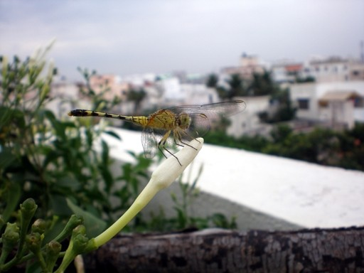 dragon fly profile