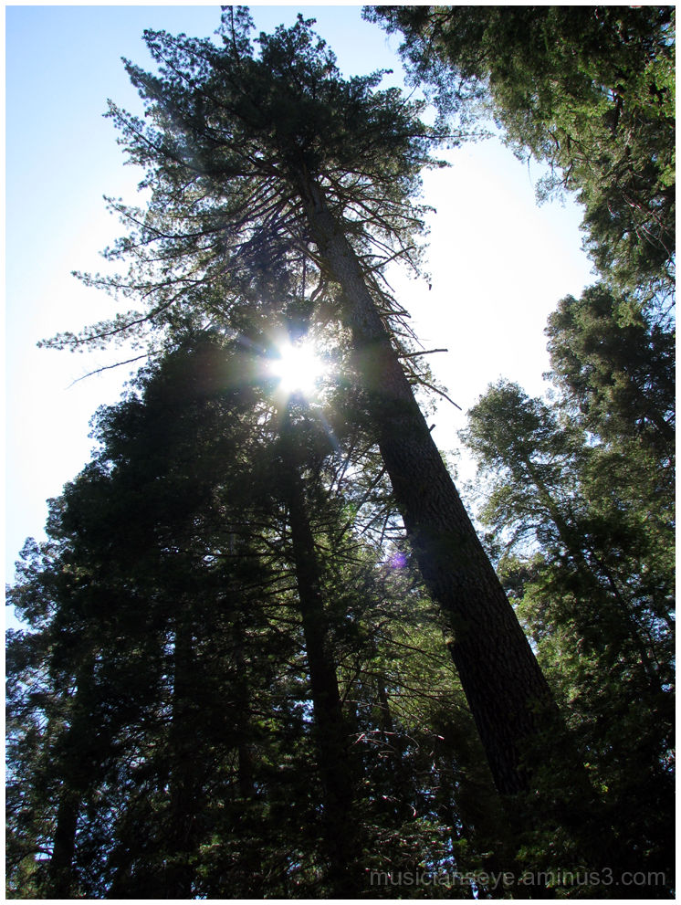 Sun smiling at the Pines in Yosemite