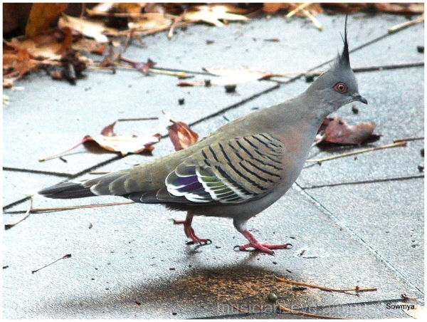 Horned Pigeon