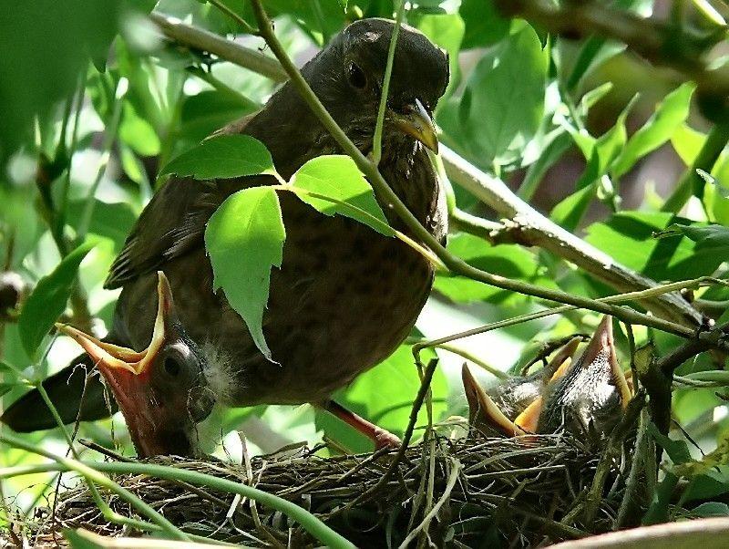 Mom blackbird