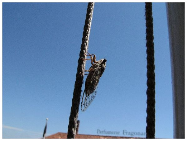 Cicada in Grasse ( France )