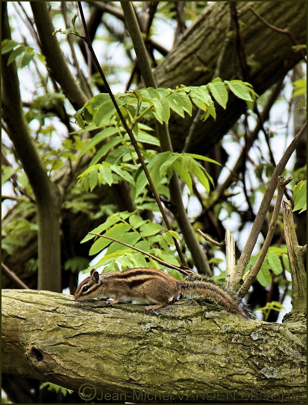 Siberian chipmunk (Tamias sibiricus).