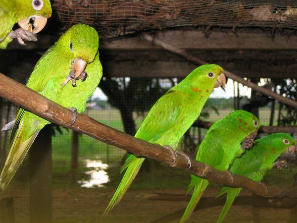 green' aras, french guiana