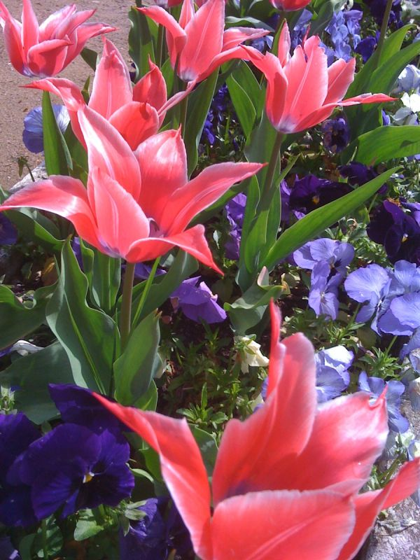 autres tulipes vichychoises
