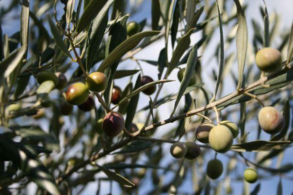 quelques olives
