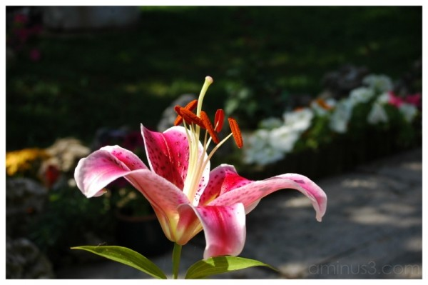 lys flower