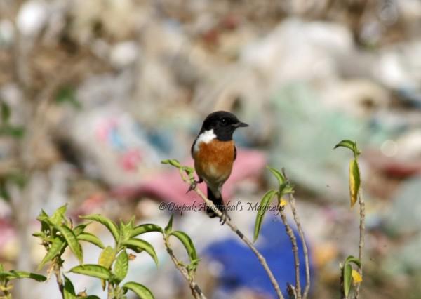 Beautiful bird in Chanderi