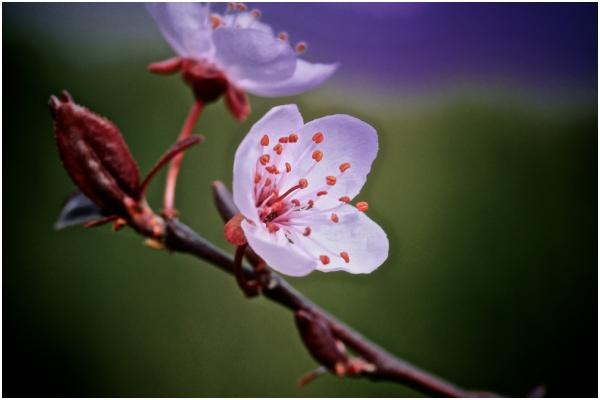 Gormaig, prunus en floración