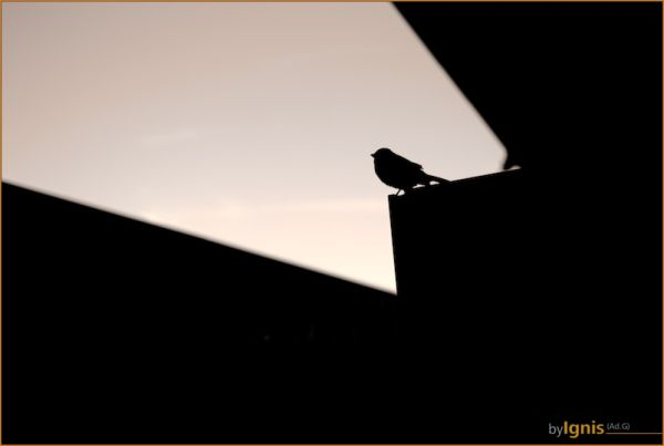 silhouette of a bird, singing
