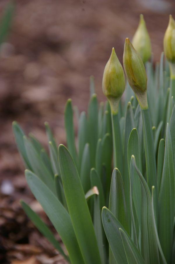 Budding Daffodil