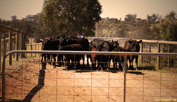 angus cow farm in australia
