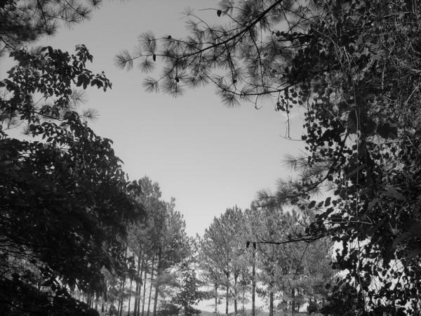B/W trees