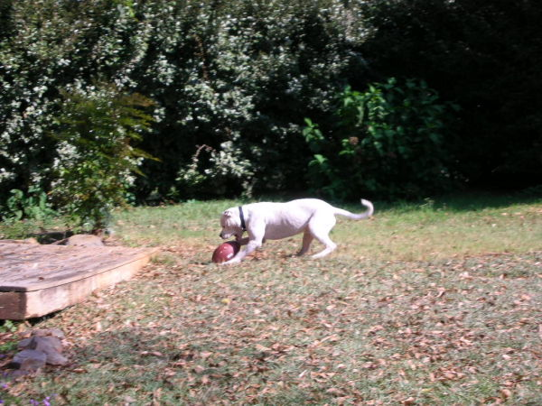 Maxx atacking a football
