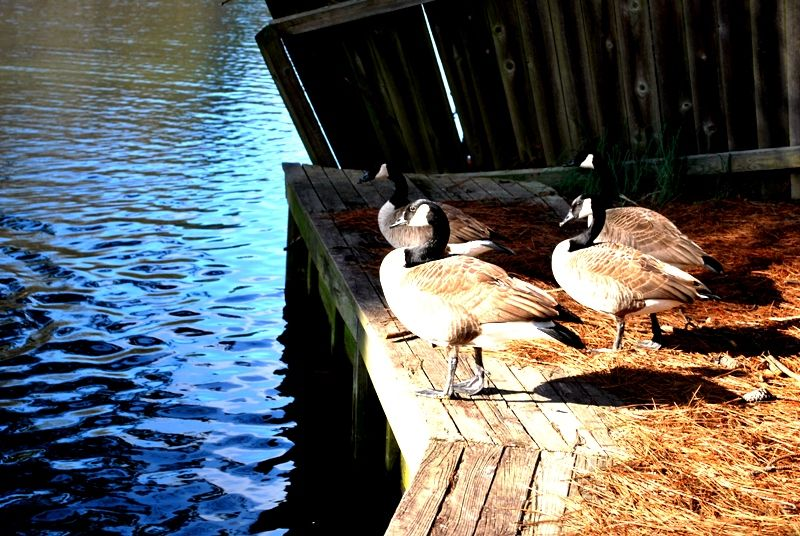 My Favorite Thing: Canadian Geese.