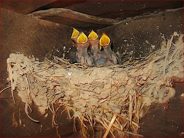 la primera nidada