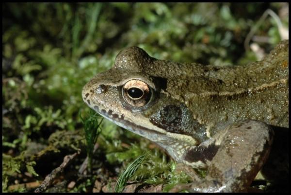 Une belle grenouille