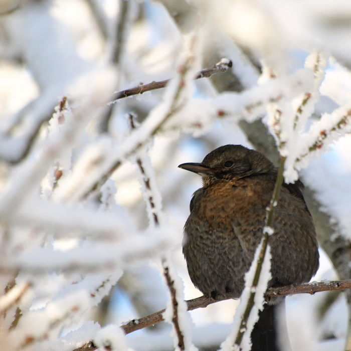 oiseaux  hiver neige