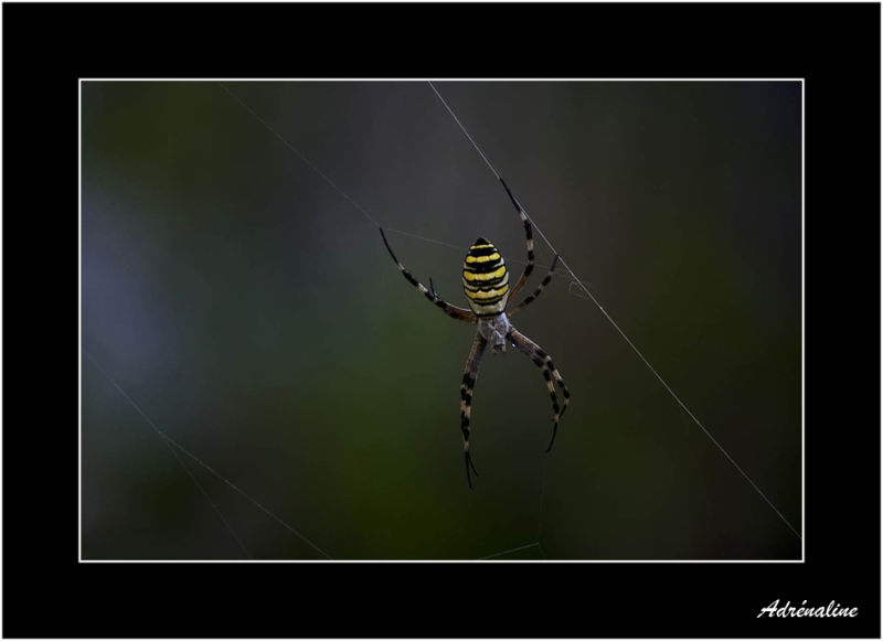 Arachnéene